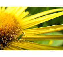 Aphid on Petals Photographic Print