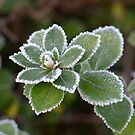 Escallonia leaves in the frost by DebbyScott