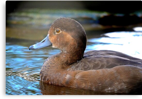 FEMALE REDHEAD DUCK CLOSE UP by TJ Baccari Photography