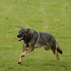 German shepherd running with a toy by elsiebarge