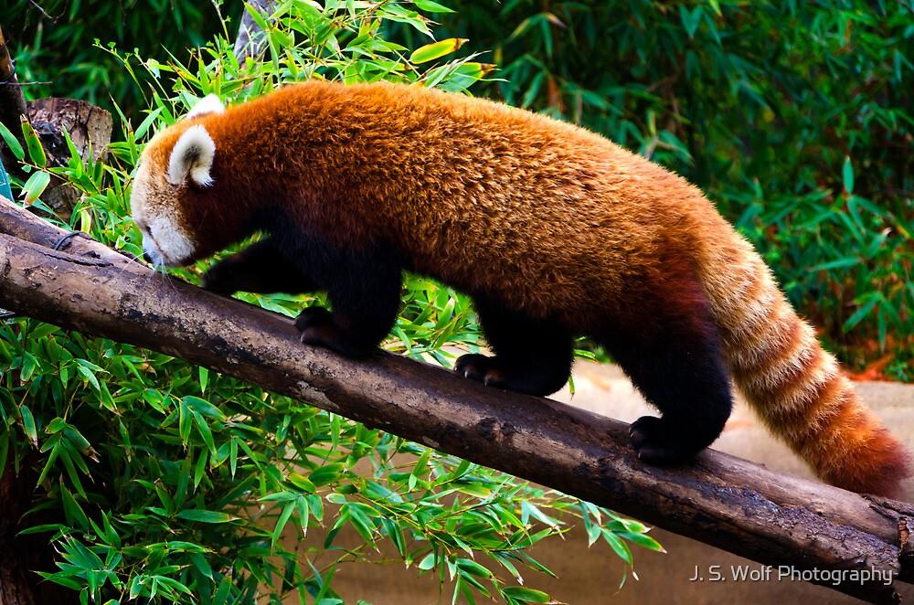 Walking Red Panda by jswolfphoto