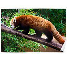 Walking Red Panda Poster