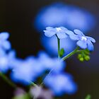 forget-me-not by GroveDawg