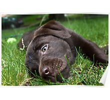 Chocolate Puppy Poster