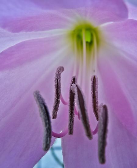 Lilium by Soniris