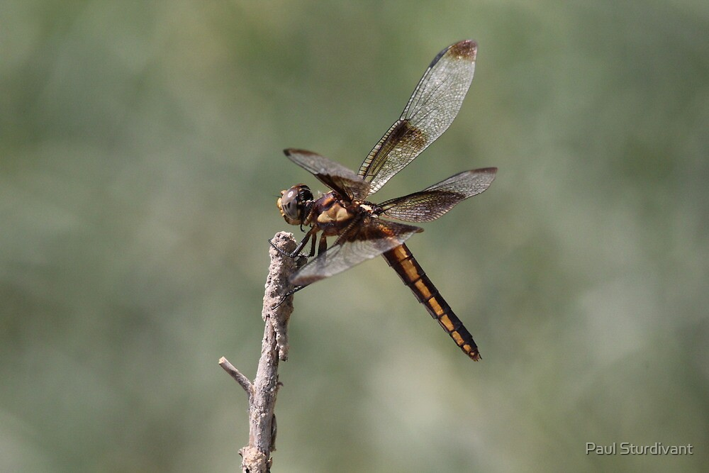 Dragonfly by Paul Sturdivant