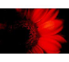 Dark Gerbera Photographic Print