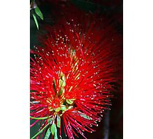 Bottle Brush Glow Photographic Print