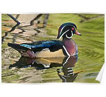 Male Wood Duck Poster