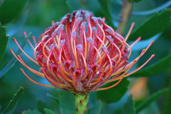 Protea by Lozzar Flowers & Art