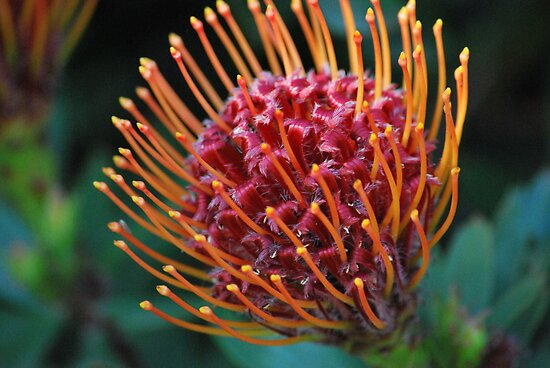 Joyous Protea by Lozzar Flowers &amp; Art