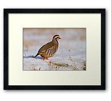 Red-legged partridge (Alectoris rufa), Scotland Framed Print