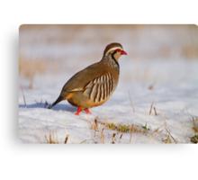 Red-legged partridge (Alectoris rufa), Scotland Canvas Print
