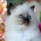 Ragdoll Kitten 04 by geomar