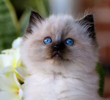 Ragdoll Kitten 06 by geomar