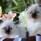Ragdoll Kittens 08 by geomar
