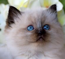 Ragdoll Kitten 09 by geomar
