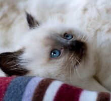 Ragdoll Kitten 12 by geomar