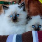 Ragdoll Kittens 14 by geomar