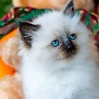 Ragdoll Kitten 15 by geomar