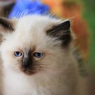 Ragdoll Kitten 17 by geomar
