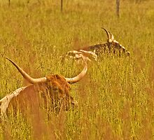 Longhorns In Grass. by Todd Rollins