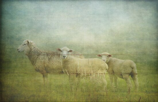 a sheepish little trio by Clare Colins