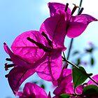 the boganvillia flower by Teenieweenie