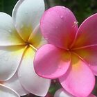 Frangipani by ecndrew