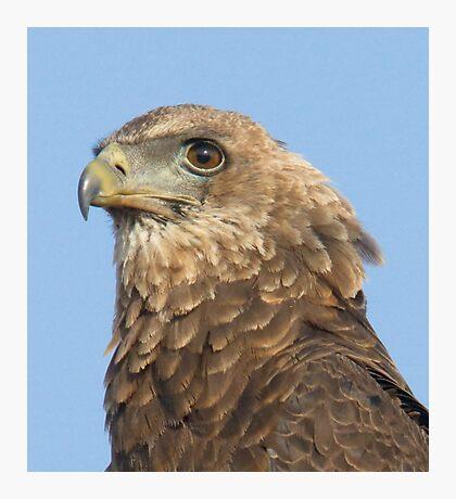 Juvenile Bateleur Eagle Photographic Print