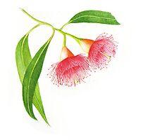 botanical art, eucalyptus, watercolour by Helen  Stewart