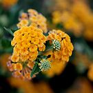 Yellow Lantana by TeAnne