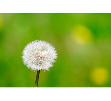 Single dandelion against a green background Photographic Print