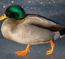 Mallard Drake: River Ice by John Williams