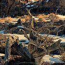 Swirling Juniper by Arla M. Ruggles