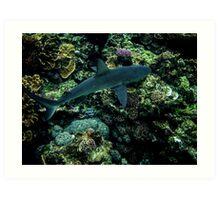 Galapigos Whaler Shark Art Print