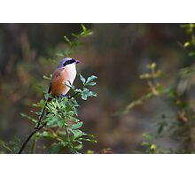 The china birds - pd Photographic Print