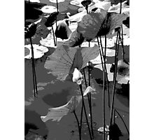 Water lilies in black and white Photographic Print