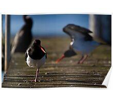 australia birds -- pied oystercatcher Poster