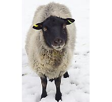 Black Faced Sheep  Photographic Print