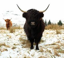 Black Highland Cattle in Snow by Maria Gaellman