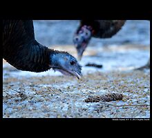 Meleagris Gallopavo Silvestris - Eastern Wild Turkey by © Sophie W. Smith