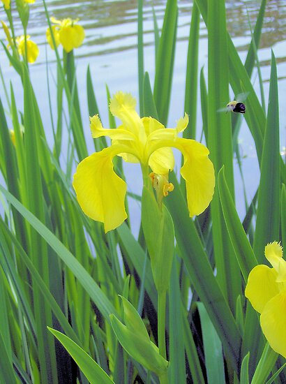 Iris And The Bee by ©Dawne M. Dunton
