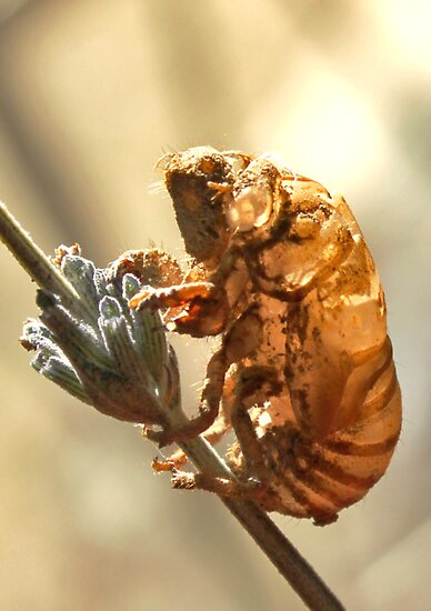 Cicada nymph by Rina Greeff