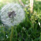 Dandelion by volkandalyan