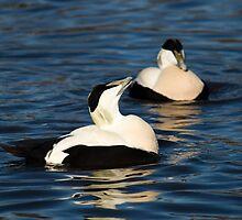 Male Eider Duck at WWT Slimbridge by Cliff Williams