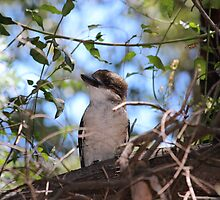 Baby Kookaburra in our back yard by jonolaf