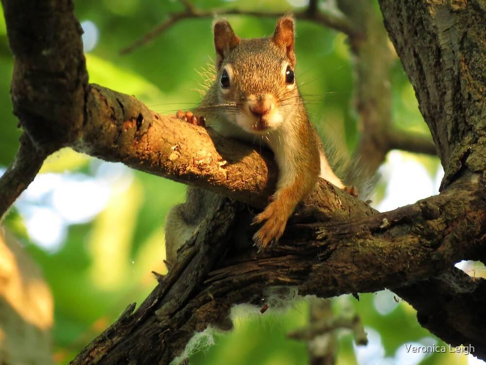 Red Squirrel by Veronica Schultz