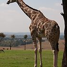 Giraffe in Africa by Kirk D. Belmont Photography