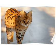 Serval cat in the snow Poster